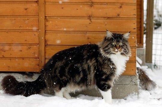 La plus grosse chatte du monde en photo Megabaise