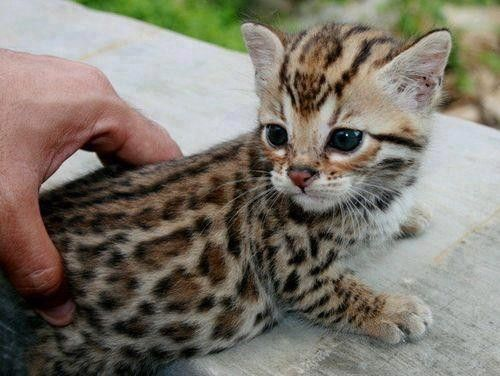 Chat l opard - Chat type leopard ...